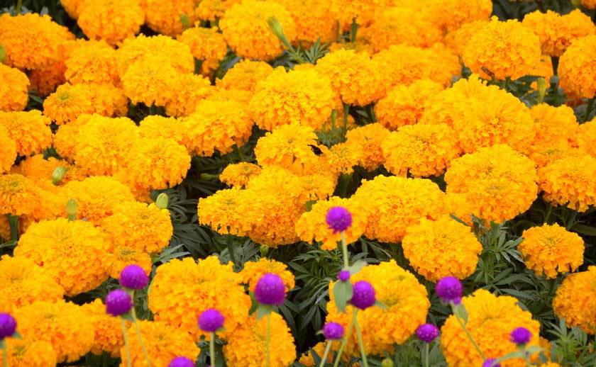 तिहार अगावै फूल फुलेपछि कृषक मारमा